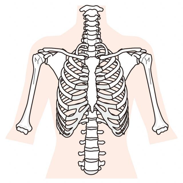 肋骨 写真