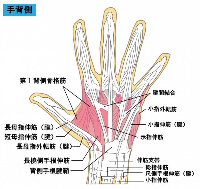 腱鞘炎とは、指の腱が肥大し、炎症が起きることを言います。